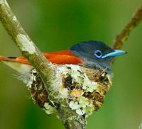 African Paradise Flycatcher by Chris Krog