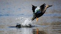 Yvonne Botha This photo was taken at a wetlands near Cape Town, South Africa. Its always a surprise when you catch the duck just breaking free of the water to take to the sky.