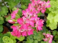 Pelargonium Emma Game