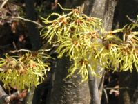 This Witch Hazel blooms in early Feb.
