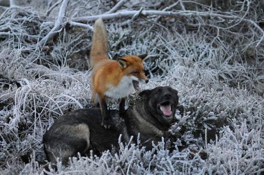 The Fox and the Hound 7