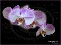 Orchid Fae (Medium)