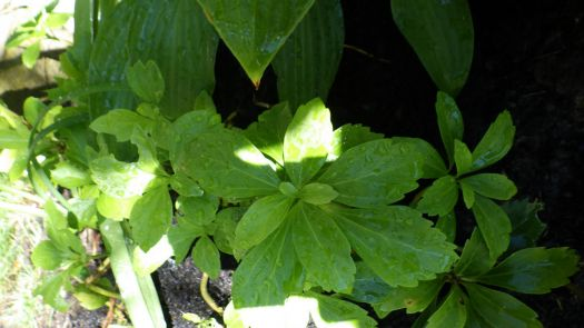 Nancy's Pachysandra