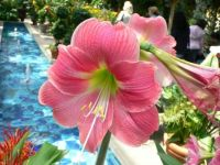Candy Floss Amaryllis