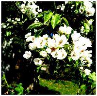 Květy--hrušně