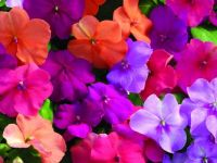 Colorful Impatiens