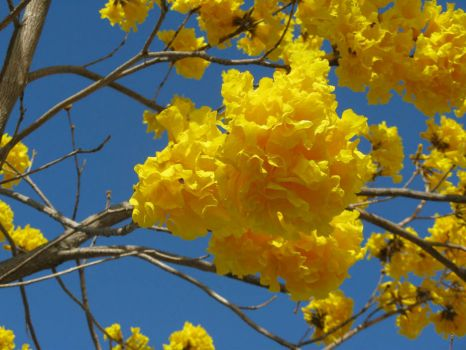 Golden Trumpet Tree flowers - up close