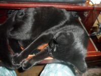 RAVEN PLAYING WITH HER TAIL