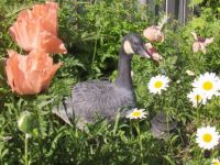 Goose in the flowers?