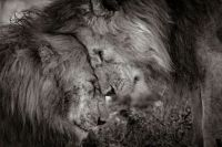 Bond of brothers, male lions bonding with love.   David Lloyd Wildlife Photo