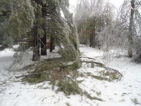 The pines seem to have been the hardest hit.