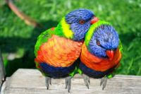 rainbow lorikeets happy Valentine's Day