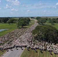 Big Herd