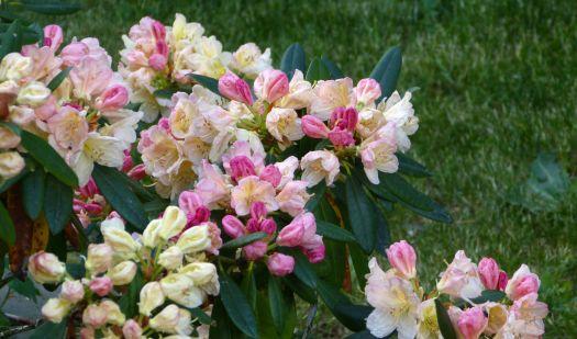 vielfarbiger Rhododendron