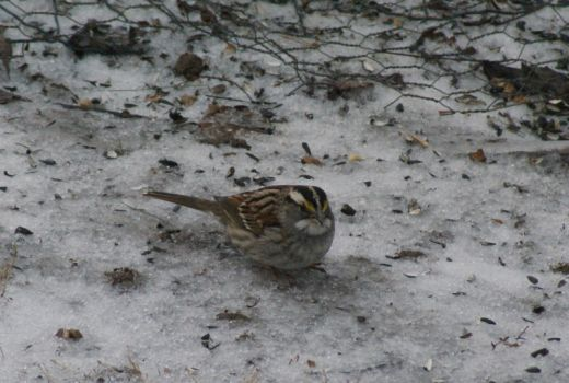 A better view of the White-throated Sparrow