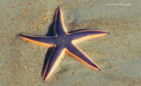 Blue Star Starfish