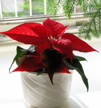 for Graciela and Nova : poinsettia