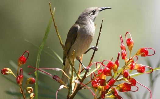 Brown Honeyeater on Grevillea flower - Australia.