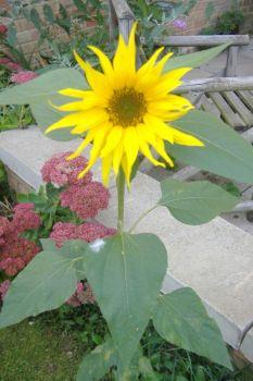 Garden - Sunflower 1