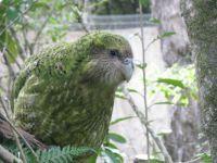 Sirocco - New Zealand Kakapo