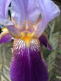 Iris beckoning--medium