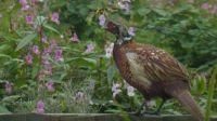 Adolescent pheasant chick ...