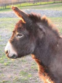 "Reggie, a little mini from,"" Safe Home Equine Rescue & Sanctuary"""