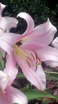 Busy Bee in a Lily