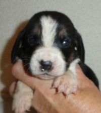 two week old Basset puppy, Josie