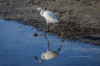 The Snowy Egret Stroll