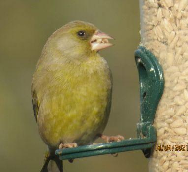 Male Greenfinch - what a beak full!!
