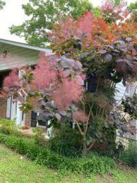 My smoke tree, (bush)