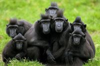2  ~  'Black Crested Macaque ~ Family Portret.'