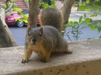 Hollywood Squirrel