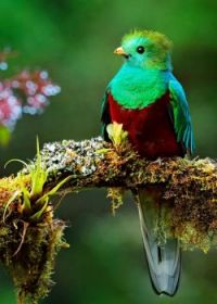 green-and-red-bird-Pharomachrus-mocinno