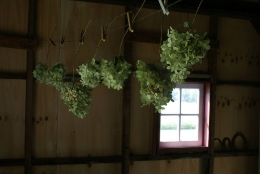 Hydrangeas hanging to dry.