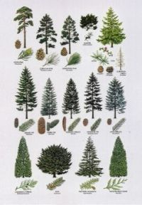 Pine Trees in North America