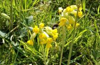 A bee on the cowslips