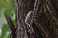 Curious Baby Owl