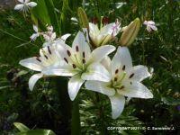 MORNING WALKS - White Lilies - 4