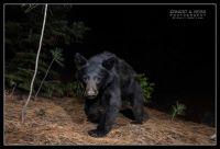 Black bear passing by camera trap set