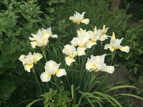 Witte irissen.