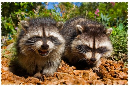 Write a Caption!  raccoons