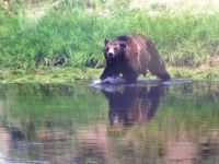 Yellowstone Grizzley