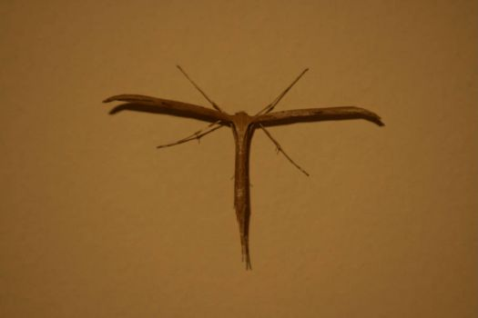 T-shaped moth