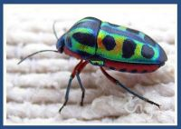 RAINBOW SHIELD BUG – CALIDEA DREGII