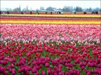 dutch tulip farm