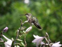 hummingbird 013 sm