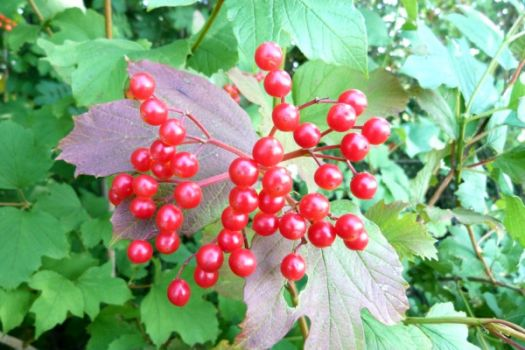 Bessen van de Gelderse roos~Berries of the Guelder rose