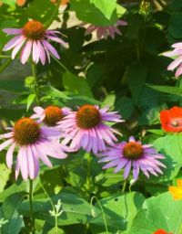 Purplecone Flowers